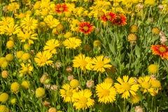 Yellow blanket flowers. Blanket flowers on display at botanical garden Stock Image