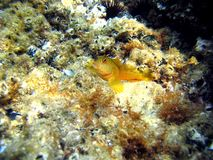 Yellow Blenny royalty free stock photos
