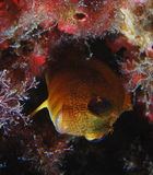 Yellow blenny. Blenny photographed at night portrait close up stock image