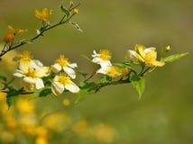 Yellow bloming shrub Stock Images