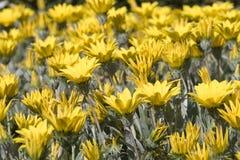 Yellow blommor i blom Arkivbilder