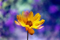 Yellow Bloom. In the blue background Stock Photos