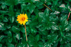 The yellow bloom. Ing with green leaves background Royalty Free Stock Images