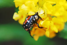 INTO THE YELLOW BLOOM. A BUG THAT GOES INTO THE YELLOW BLOOM FOR FOOD Royalty Free Stock Image