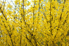 Yellow bloom bushes of forsythia Stock Photo