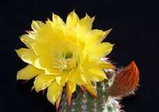 Yellow bloom on a hedgehog cactus Royalty Free Stock Image