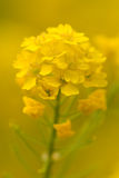 Yellow bloom of Stock Photo