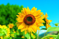 Yellow bloom Royalty Free Stock Images