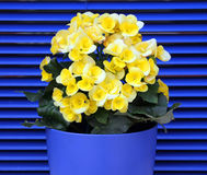 Yellow blooming begonia on a background of blue shutters Royalty Free Stock Image