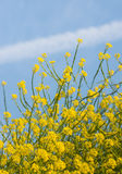 Yellow blooming black mustard from close Stock Photos