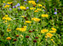 Yellow blooming and brown overblown Common Fleabane plants from Stock Images