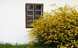Yellow blooming bush in front of a white wall Stock Photography