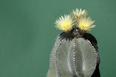 Yellow blooming cactus (Astrophytum) Royalty Free Stock Photo