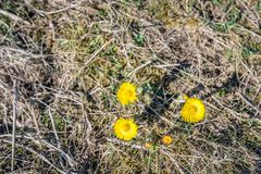 Yellow blooming Coltsfoot plants from above. Yellow flowering Coltsfoot or Tussilago farfara wild plants between withered grass. It is still early in the spring Royalty Free Stock Images