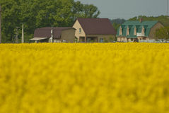 Yellow blooming colza field near the village in Ukraine. Colza, coleseed, field near the village in countryside, Ukraine stock photography