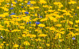 Yellow blooming corn marigold plants from close Stock Images