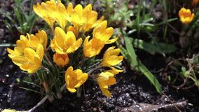 Yellow blooming crocuses in light breeze stock footage
