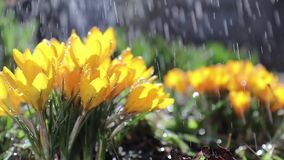 Yellow blooming crocuses in light breeze stock video