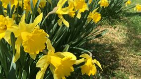 Yellow blooming daffodil Narcíssus pseudonarcíssus . Many first spring flowers. Is grow in a flower bed. Narcissus swinging in the wind stock video footage