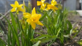 Yellow blooming daffodil. Sunny day. It rains in sunny day. Low angle. Sunshine. Sunrise. Shallow depth of field stock footage