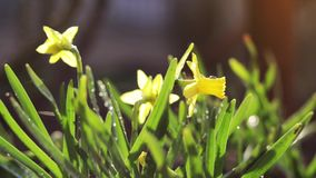 Yellow blooming daffodil with water drops in light breeze. It rains in sunny day. stock footage