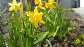 Yellow blooming daffodil with water drops in light breeze. Sunny day. It rains in sunny day. Low angle. Sunshine. Sunrise. Shallow depth of field stock footage