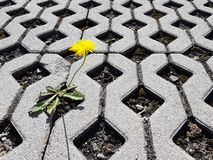 A yellow blooming dandelion flower sprouts between latticed concrete slabs in the daytime. Life conquers death and civilization. D. Evelopment and degradation stock photography