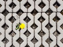A yellow blooming dandelion flower sprouts between latticed concrete slabs in the daytime. Life conquers death and civilization. D. Evelopment and degradation royalty free stock photos