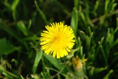 Yellow Blooming Dandelions Groething on Green Grass field. top View. spring time. Yellow Blooming Dandelions Groething on Green Grass field Stock Photo