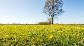 Yellow blooming dandelions in a large and sunny meadow Stock Images