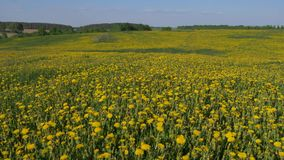 Yellow blooming field of dandelion flowers. Pan shot from bottom to top the beautiful field with blooming dandelion yellow flowers. Sunny springtime. Slow motion stock video footage