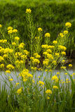 Yellow blooming field mustard at the banks  of a ditch Stock Photography