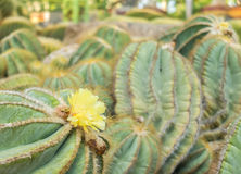 Yellow Blooming Flower from Cactus Plant in The Big Garden Royalty Free Stock Photo