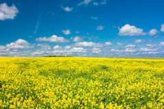 Yellow blooming flowering field and blue sky with white clouds. Landscape with yellow flowers of rapeseed. Stock Image