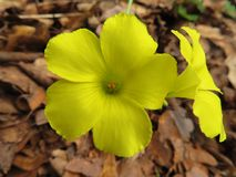 Yellow blooming flowers in woods royalty free stock photo