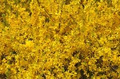 Yellow blooming forsythia Royalty Free Stock Photo