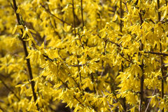 Yellow blooming forsythia. Blooming of the yellow forsythia Stock Photo