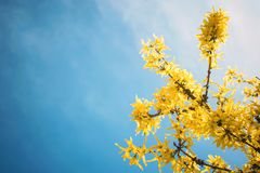 Yellow blooming Forsythia flowers on the blue sky background. A branch with bright yellow flowers in spring close up. Golden Bell stock image