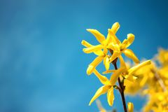 Yellow blooming Forsythia flowers on the blue sky background. A branch with bright yellow flowers in spring close up. Golden Bell stock images