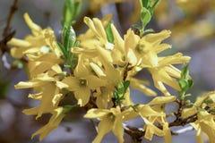 Yellow blooming Forsythia flowers in spring close up. Golden Bell, Border Forsythia Forsythia x intermedia, europaea beautiful. Shrub royalty free stock photos