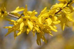Yellow blooming Forsythia flowers in spring close up. Golden Bell, Border Forsythia Forsythia x intermedia, europaea beautiful. Shrub stock image