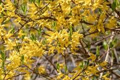 Yellow blooming Forsythia flowers in spring. Golden Bell, Border Forsythia Forsythia x intermedia, europaea beautiful shrub.  stock photos