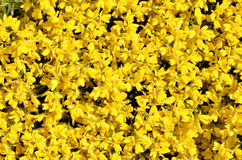 Yellow blooming genista Stock Images