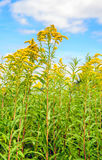 Yellow blooming Goldenrod plants from close against a blue sky Royalty Free Stock Photo