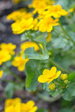 Yellow blooming Hypericum Stock Photography