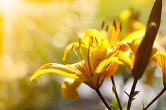 Yellow blooming lilies on a sunny day Stock Images