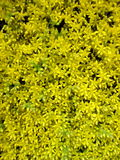 Yellow blooming moss Royalty Free Stock Photography