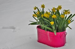 Yellow blooming narcissuses frozen on snow Stock Photos