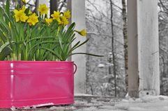 Yellow blooming narcissuses on a wooden terrace frozen Royalty Free Stock Photo