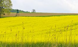 Yellow blooming oilseed rape field Royalty Free Stock Images
